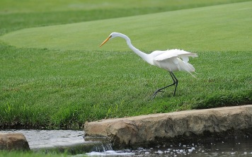 A crane spent some time looking for lunch around the 14th green.